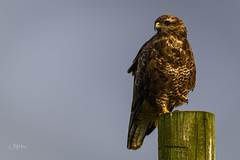 Buzzard on a post - Mull (andy_harris62) Tags: buzzard buteobuteo mull birdofprey nikon nikond50 nikond850 bird wildlife isleofmull