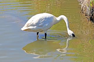 Trumpeter Swan 18-0806-0469