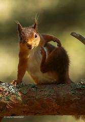 Hello! (waynehavenhand1) Tags: tuffty 5d3 canon5d3 canon tuffs animal wildlife nature'sfinest nature woodland scottish scotland scratch redsquirrel red squirrel