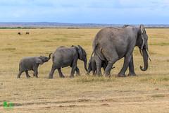20180805IMG_7398.jpg (jmcenern) Tags: africa elephant amboselinationalpark kenya