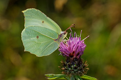 Brimstone butterfly (Gonepteryx rhamni) (Mark Wasteney) Tags: happywingwednesday hww butterfly insect invertebrate wildlife nature fauna flora flower