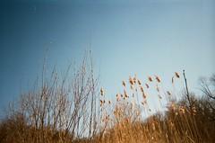 Winter Light (Caroline Kutchka Folger) Tags: film 35mm bluesky onetimeuse analog earlyspring buds grass golden