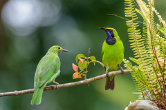Golden-Fronted Leafbird / Verdin à front d'or (geolis06) Tags: geolis06 asia asie thaïlande kaengkrachannationalpark samarnbirdcamp nikon nikond7200 sigma150600mmf563contemporary bird oiseau chloropsisaurifrons nature thailande leafbird oiseauxthaîlande goldenfrontedleafbird verdinàfrontdor