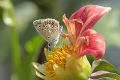Polyommatus icarus - Common Blue, female (d.hunt67) Tags: herts polyommatusicarus commonblue lycaenidae