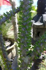 Allaudia procera (tanetahi) Tags: succulent madagascan allaudia tanetahi