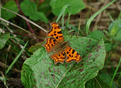 Comma --- Polygonia c-album (creaturesnapper) Tags: maplelodge uk europe insects nymphalidae butterflies lepidoptera comma polygoniacalbum