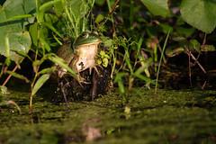 American Bullfrog, Lithobates catesbeiana (Shaw, 1802) (Misenus1) Tags: boltonflatswma boltonma massachusetts animalia chordata amphibia anura frogs ranidae lithobatescatesbeiana taxonomy:kingdom=animalia taxonomy:phylum=chordata taxonomy:class=amphibia taxonomy:order=anura taxonomy:family=ranidae taxonomy:binomial=lithobatescatesbeiana