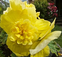 2000 Begonia bloom (Andy - Not too busy) Tags: bbb begonia bloom fff flower xanthic xxx yellow yyy