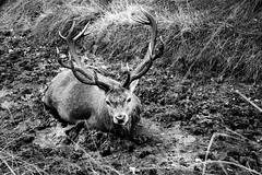 Come to my stag party, he said. It'll be fun, he said. (mrdamcgowan) Tags: stag london londonist richmondpark deer capitalring blackandwhitelondon londonwildlife monochromeanimals