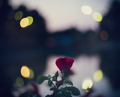 Catseye Blues (trm42) Tags: rose bokeh redflower legacylens finland water helsinki m42 helios44 swirlybokeh kesäilta kaisaniemi sonya7ii summerevening flower catseyes bokehballs kesäfiilis
