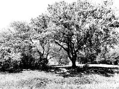 duotone (fotomie2009) Tags: duotone bw bn monocromo monochrome monotone flora trees alberi high key countryside campagna segno liguria italy italia tree