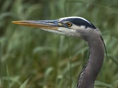 Great blue heron (Robert R Grove 2) Tags: gbh heron portrait bird beak head wildlife details closeup robertrgrove