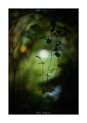 2018/8/4 - 11/12 photo by shin ikegami. - SONY ILCE‑7M2 / 七工匠  7artisans 50mm f1.1 (shin ikegami) Tags: マクロ macro 井の頭公園 吉祥寺 summer 夏 asia sony ilce7m2 sonyilce7m2 a7ii 50mm 七工匠 7artisans 7artisans50mmf11 tokyo photo photographer 単焦点 iso800 ndfilter light shadow 自然 nature 玉ボケ bokeh depthoffield naturephotography art photography japan earth