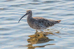 Curlew 501_3125.jpg (Mobile Lynn) Tags: curlew birds nature bird charadriiformes coastal fauna shorebird shorebirds wader waders wetland wildlife newforestdistrict england unitedkingdom gb