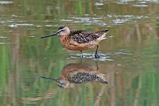 Short-billed Dowitcher 18-0901-1529