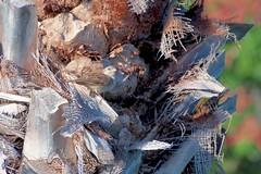 Blending In (Fletch in HI) Tags: nikon d5600 tamron 16300 sparrow bird tree hawaii honolulu hoyaredintensifierfilter oahu