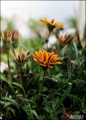 Garden Flowers... (angelakanner) Tags: canon70d helios442 garden longisland closeup bokeh flowers