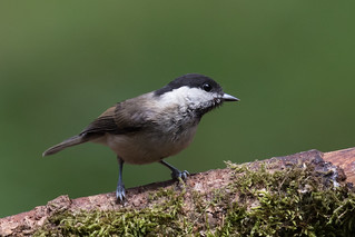 Marsh Tit (Poecile palustris) Glanskop