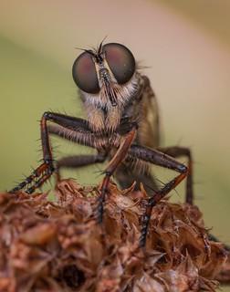 Female Kite-tailed Robberfly (Tolmerus atricapillus)