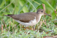 Spotted Sandpiper (tresed47) Tags: 2018 201808aug 20180815delawarebirds august birds bombayhook content delaware folder peterscamera petersphotos places sandpiper season shorebirds spottedsandpiper summer takenby us