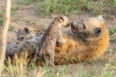Animals-8 (niekeblos) Tags: hyena animal animals younganimals nature krugernationalpark southafrica sweetmoment grass wildlife