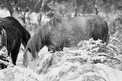 Brumby 5 small (iSPY Photography) Tags: brumbies wild horses australia nsw mountains snowymountains stallion mare filly colt ice gumtrees magestic kosciuskonationalpark