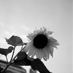 Sunflower (25/8) Tags: rolleicord rolleicordva ilford delta100 ilfotecddx