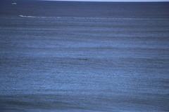 IMG_3559 (gervo1865_2 - LJ Gervasoni) Tags: surfing with whales lady bay warrnambool victoria 2017 ocean sea water waves coast coastal marine wildlife sealife blue photographerljgervasoni