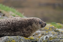 I'm Watching You - IMG_7253 (406highlander) Tags: commonseal seal phocavitulina dunvegan skye scotland lochdunvegan marine mammal animal sigma120400mmf4556apodgos harbourseal harborseal basking rock canoneos1300d