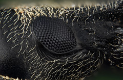 Weevil eye (brianjobson) Tags: weevil compound eye coleoptera arthropod extrememacro
