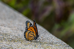 Sitting Pretty (Fred Roe) Tags: nikond810 nikkorafs80400mmf4556ged nature wildlife insect butterfly viceroy limenitisarchippus peacevalleypark
