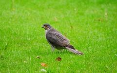 Goshawk on the grass (seenbynick) Tags: goshawk bird pray wildlife nature outdoors prey grass garden park heskethparksouthport