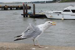Noisy Gull - Harwich (Neil Pulling) Tags: essex harwich havenports eastanglia coast northsea harbour port bird gull