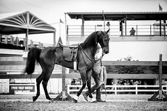 (Jen MacNeill) Tags: american saddlebred horse asb gaited equine equestrian horses bnw blackandwhite devonhorseshow devon horseshow