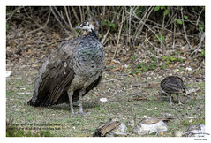 Peahen in Explore 20th September 2018 Thanks. (Trevor Watts Photography) Tags: brownseaisland dorset poole harbour nationaltrust summer 2018 september © trevorwatts nikon dslr gb uk england southernengland coast bird exoticbird peahen chick