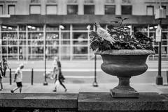 pigeons  watching  people (V-A-B) Tags: film analog blackwhite ilfordpanf nikonfm manhattan nyc newyork newyorkpubliclibrary pigeons people watching