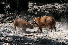Pinselohrschweine im Kampftraining (mux68-uh) Tags: zoo tierpark hellabrunn tierparkhellabrunn münchen munich pinselohrschwein schwein