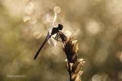 Good Morning (roelivtil) Tags: backlit bokeh darter dauw dew libelle macro morninglight wednesdaybokeh