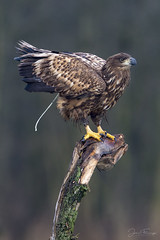 Relief (Mr F1) Tags: wild whitetailedeagle poland relief poo raptor detail wildlife bird bop birdsofprey post perch feathers barndoor juvenile young youngster fledgling talons outdoors nature naturalhistory