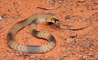 Strap-snouted Brown Snake (Pseudonaja aspidorhyncha)