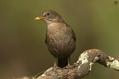 Melro-preto, Common blackbird (Turdus merula) (Nuno Xavier Moreira) Tags: melropreto commonblackbirdturdusmerulaemliberdadewildlifenunoxavierlopesmoreirangc animals animais aves de portugal observação nature natureza selvagem pics wildlife wildnature wild photographer birds birding birdwatching em bird ao ar livre ornitologia ngc nuno xavier moreira nunoxaviermoreira liberdade national geographic all xpress us turdusmerula eurasianblackbird commonblackbird