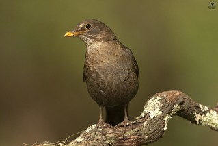 Melro-preto, Common blackbird (Turdus merula)