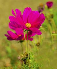 Flowers. (ost_jean) Tags: flowers nikon d5200 tamron sp 90mm f28 di vc ostjean cosmos