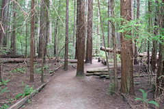Path through the redwoods (Randy Gardner 88) Tags: rockefellerforest humboldt humboldtcounty humboldtcountycalifornia california redwoods state park humboldtredwoodsstatepark redwood trees fern