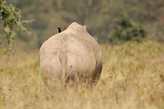 Gajagamini (Nagarjun) Tags: lakenakurunationalpark kenya eastafrica wildlife bigfive whiterhino whiterhinoceros southernwhiterhinoceros ceratotheriumsimumsimum safari gamedrive herbivore biggame