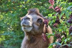 Camel (Hugo von Schreck) Tags: hugovonschreck canoneos5dsr kamel camel greatphotographers tamron28300mmf3563divcpzda010