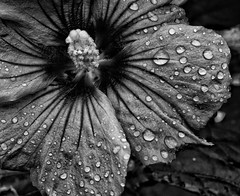 Delicate droplets! 😊 (LeanneHall3 :-)) Tags: blackandwhite mono petals closeup closeupphotography droplets raindrops flower flowersarefabulous flowerarebeautiful flowerflowerflower macro macrophotography macroflowerlovers macrounlimited canon 1300d