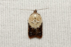 Acleris variegana (Garden Rose Tortrix Moth) - Hodges # 3530 - Everett, WA (Nick Dean1) Tags: animalia arthropoda arthropod hexapoda hexapod insect insecta lepidoptera aclerisvariegana acleris gardenrosetortrixmoth washington washingtonstate washingtonusa tortricidae tortrix