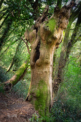 2018 The old forest (jeho75) Tags: sony ilce 7m2 zeiss italy garda rocca baumstamm old alter tree trunk märchenwald fairy tale forest woods