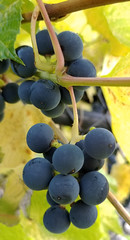 Autumn in macro mode... (EOSXTi) Tags: september autumn macro macromarvels fall grapes wine